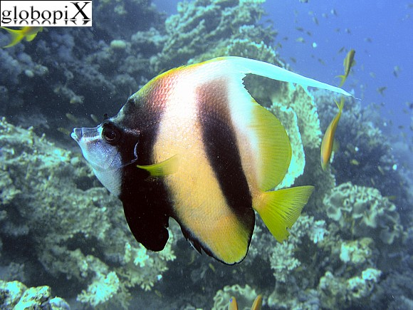 Photo sharm diving pesce farfalla bandiera globopix for Pesce rosso butterfly