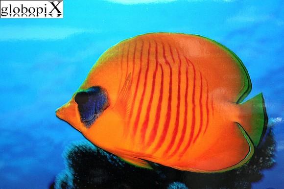 Foto sharm diving pesce farfalla mascherato globopix for Un pesce allevato in acque stagnanti