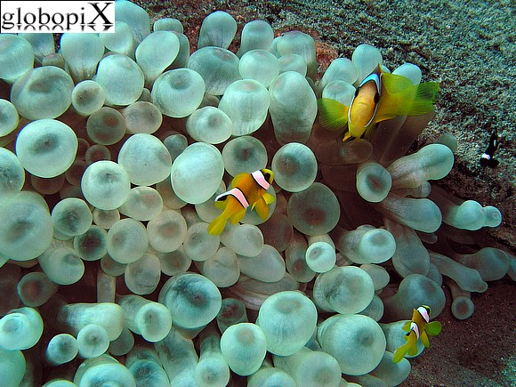 Foto sharm diving pesce pagliaccio bifasciato globopix for Pesce pagliaccio foto