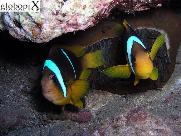 Foto sharm diving pesce pagliaccio globopix for Pesce pagliaccio foto