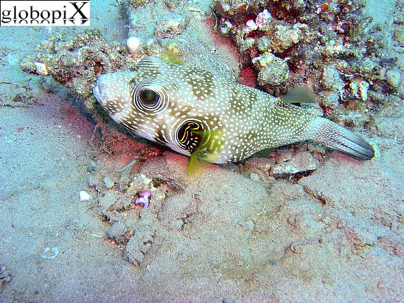 Sharm Diving - Pesce palla stellato
