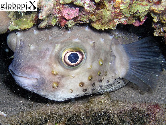 Sharm Diving - Pesce palla