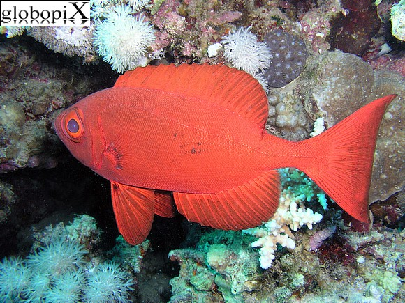 Sharm Diving - Pesce soldato
