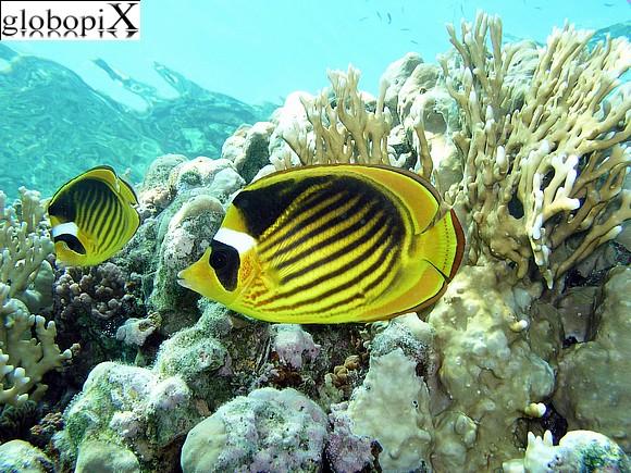 Pesci farfalla nel Mar Rosso