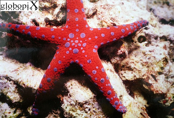 Sharm Diving - Stella marina