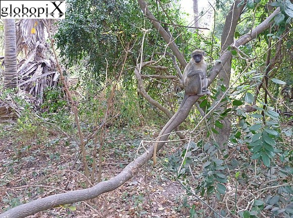 Gambia - Green Vervet Monkey