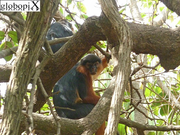 Gambia - Red Monkey