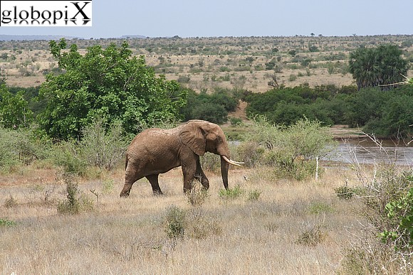 Safari - African elephant