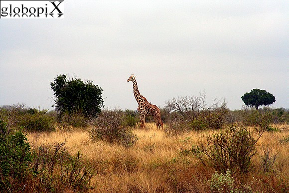 Safari - Giraffa