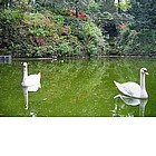Photo: Swans in Giardini Estensi