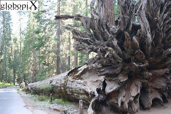 Yosemite - Mariposa Grove - Fallen Monarch