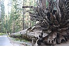 Photo: Mariposa Grove - Fallen Monarch