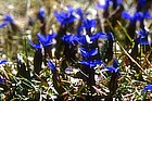 Photo: Gentians