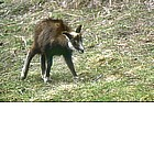 Photo: Young chamois