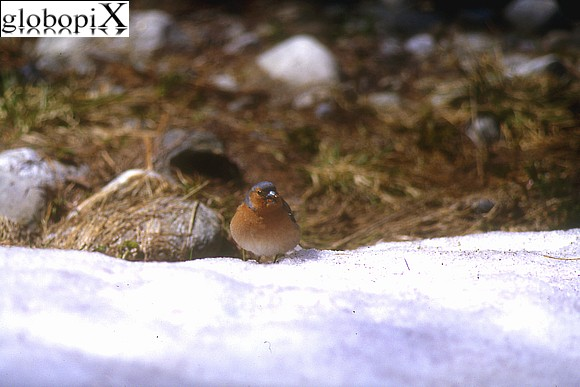 Gran Paradiso - Mountain chaffinch